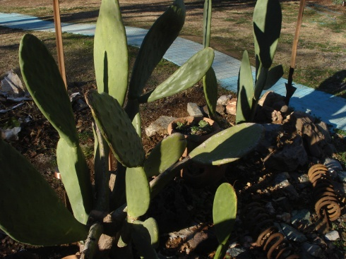 I was happy to find, when I removed the freeze cloth, my nopal cacti had grown alot.